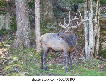 This is a male elk in the woods on a fall day.