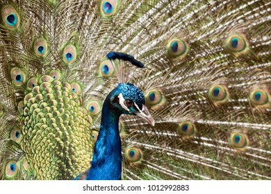 this is a male peacock displaying his feathers looking for a mate