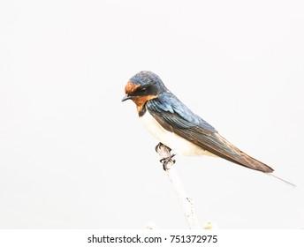 This is a martin bird.