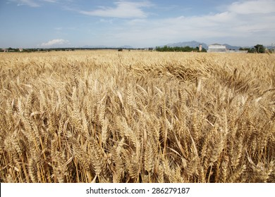 This is a mature wheat, wheat fields.