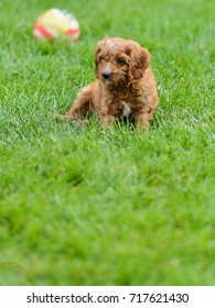 This is a mixed -breed puppy of Cavalier King Charles Spaniel and Poodle, also known as a Cavapoo, playing in the backyard.