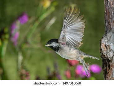 This is the moment of a baby chickadee's initial flight. It flew all the way to a big tree about 60 feet away from their nest.