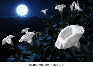 This moonflower bush has blooms that will only bloom at bight. This photo illustration takes advantage of the night blooming process by adding a bright full moon and deep night time sky.