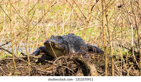 This mother alligator was sitting atop her nest of babies; and she soon swam toward us to protect her kin.