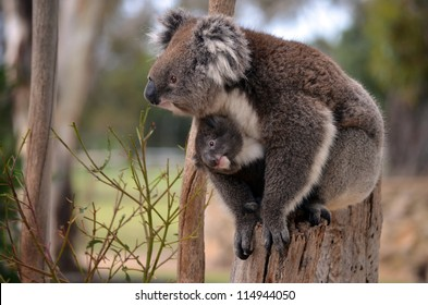this is a mother koala with her young koala