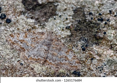 This is the Mottled Beauty, Alcis repandata, a geometrid moth sometimes referred to as geometer moths due to the apparent habit of the larvae (loopers) to inch along in a looping movement.