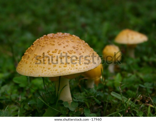 This mushroom is amanita muscaria var. formosa.  It was found in Letchworth State Park, in upstate NY.  It is poisonous and causes hallucinations.