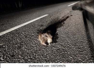 This muskrat (water rodent) is hit by a car at night when the animal was crossing the road from one part of the pond to another (highway as a barrier isolating obstruction)