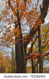 This old Maple Tree has seen better days, but still has some pretty autumn leaves to shed in late October at Shagbark Nature Park in Ridgeway, Ontario.