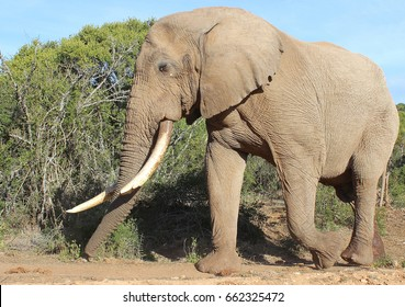 This is one of the largest elephant tuskers living in South Africa. The tip of his left tusk tusk was broken off a few years ago but he is still hugely impressive.