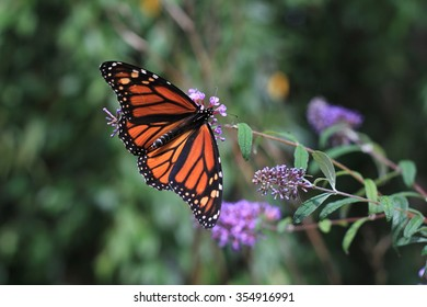 This was one of the last remaining of the monarchs before the approaching cold weather in the blue ridge mountains.