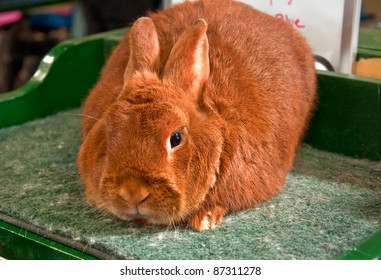This is one red trianta rabbit, sitting closeup on a grooming table.