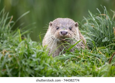 This is an otter sat amongst the grass.