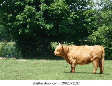 This ox is walking in the field. The weather is nice. It's a Highland beef. What a beautiful beast. Roxton pond, Quebec, Canada, June 7, 2020.