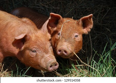 This pair of Tamworth piglets are enjoying playing in the pasture in spring.  Tamworth is a heritage breed of pig, distinguished by its tan coloring and long bodies.