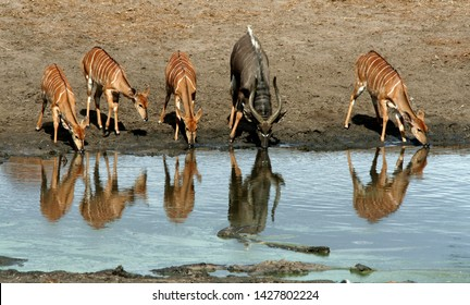This peaceful scene shows a family of one male and four female nyalas drinking water at a calm dam in the Tembe national Park in Kwazulu-Natal in South Africa, creating beautiful reflections.
