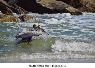 This pelican braved the breaking waves at the shore while he rested from his search for food.