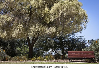 This is the Peppermint Tree in Kings Park Botanic Garden in Perth, Western Australia.