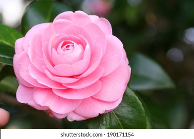 This photo is a flower of the Japanese camellia.