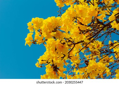 In this photo the flowers of the yellow ipe. It is a species of tree of the genus Handroanthus, reaching 30 meters in height