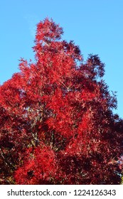 This photo is of a Raywood Ash tree in the fall. It's located on our ranch in the western part of Northern California.