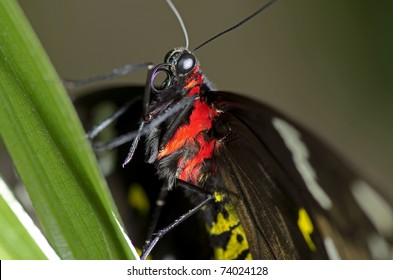This is a photo of a Swallowtail Butterfly, believed to be a Black Swallowtail Butterfly, of the Papilionidae family, may be an Orchard Swallowtail.