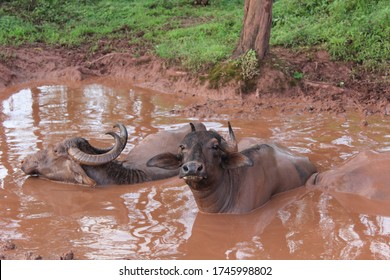 This Photo is taken in the village called Panhala, Maharashtra, India. This photo shows the village look of buffalo which is sitting in mud and enjoying. this photo is taken in the rainy season.