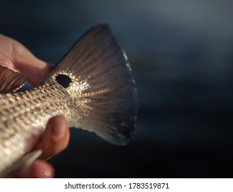 This is a photo of Tampa bay redfish in the heartland of beautiful Florida.