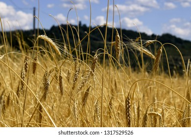 in this photo a wheat field is depicted in June and fully ripe and you can see the ears and the classic yellow color.