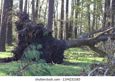 This photo of Wilmington North Carolina shows destruction by Hurricane Florence in September of 2018.  Here is a large tree completely uprooted.
