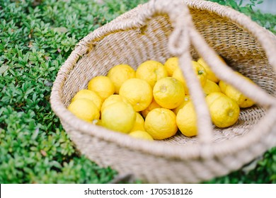 This is a photo of the yuzu harvest.