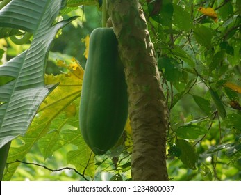 This is a photograp of the papaya tree