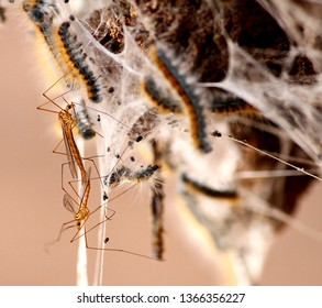 This photograph focuses on crane flies that are standing on a tent caterpillar cocoon.  The picture was taken at the Gila Box Riparian National Conservation Area, near Clifton, Arizona.