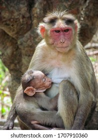 This Pic is About A Mother Monkey feeding her Infant.
