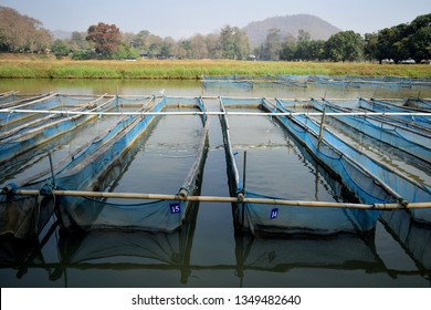 this pic show the Broodstockof tilapia fish cages in ponds culture for produced fry fish, Aquaculture concept