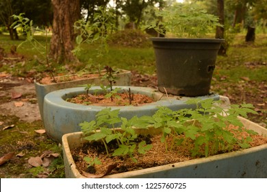 this pic show the cultivated plant on upcycle the old toilet bowl become pots planting the homegrown vegetable at farming backyard, D.I.Y farming cocept