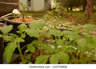 this pic show the cultivated plant homegrown vegetable at farming backyard, D.I.Y farming cocept