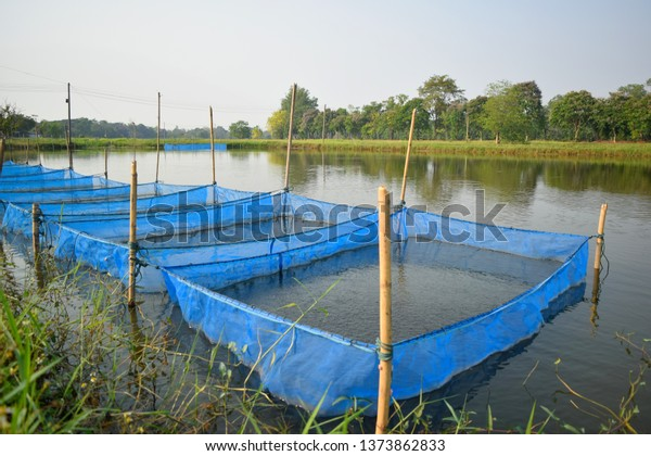 this pic show  fingerling red tilapia fish nursing in the net cage on the earthern pond, aquaculture concept