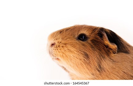 This is a picture of a brown and red guinea pig taken with a white background.