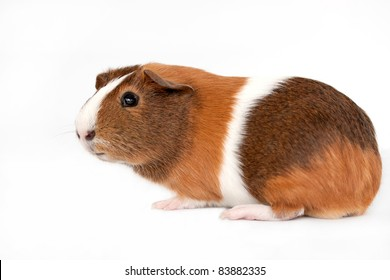 This is a picture of a brown, white and orange guinea pig taken with a white background.