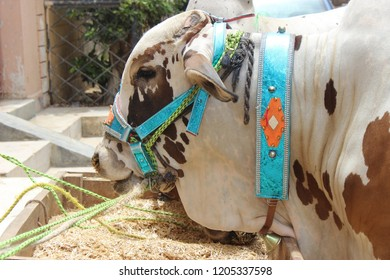 this is the picture of cow . this cow is of natually white color with brown paches. captured at bright sunlight .