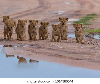 This is a picture of cubs of lion which playing near puddle. It is an excellent which shows wildlife.