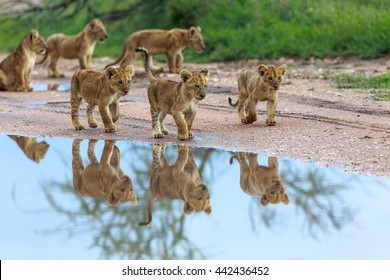 This is a picture of cubs of lion which playing near puddle. It is an excellent illustration which shows wildlife.
