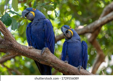 This is a picture of the famous macaw parrot (ara parrot). Photo shot in the jungle of the Pantanal area in Brazil.