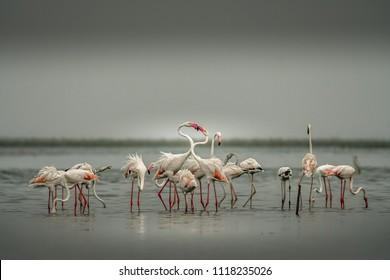 This picture of Flamingos is taken at Nalsarovar Lake in Gujarat , India.