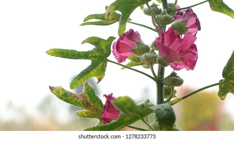 This is a picture of a flower named Alcea (Alcea rosea, hollyhock flower, Pink hollyhock flower). Beautiful pink flowers. In a farm in Thailand Under the daylight of the winter