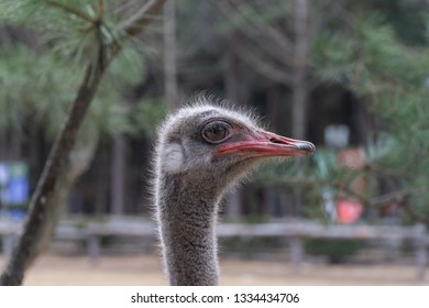 This is a picture of an ostrich and its fur. Ostrich is looking into camera lens out of curiosity. Beside the ostrich, there was a tree that had ostrich furs stuck on. Ostriches scratch against trees.