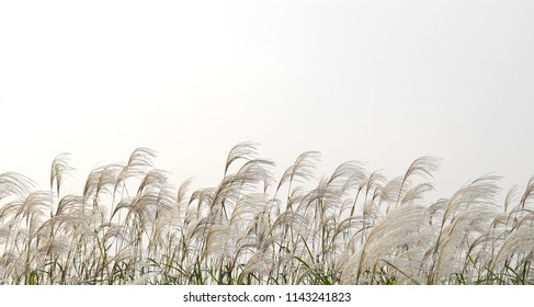 This is a picture of silver grass in Korea.