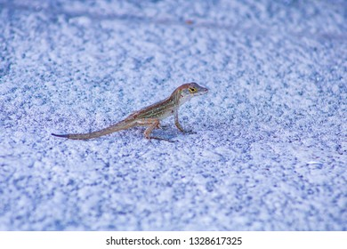 This is a picture taken in Punta Gorda, Florida of a Gecko Lizard. This little reptile was just running around on the patio. These little alligator looking creatures live near The Gulf of Mexico.