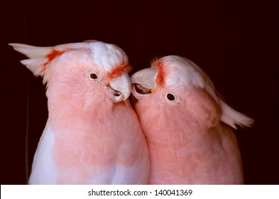 this is a picture of two pink cockatoos kissing